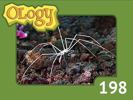 olc_198_giant_sea_spider_listing