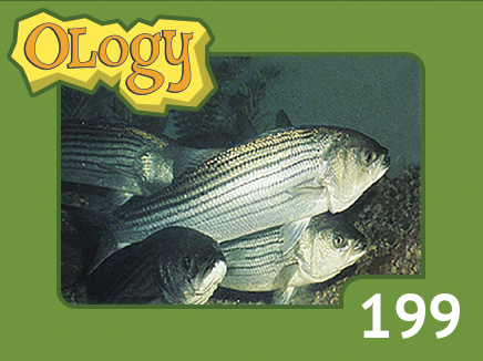 olc_199_striped_bass_listing