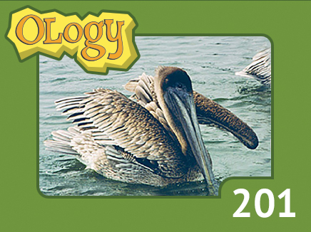 olc_201_brown_pelican_listing