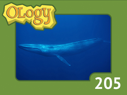 olc_205_blue_whale_listing