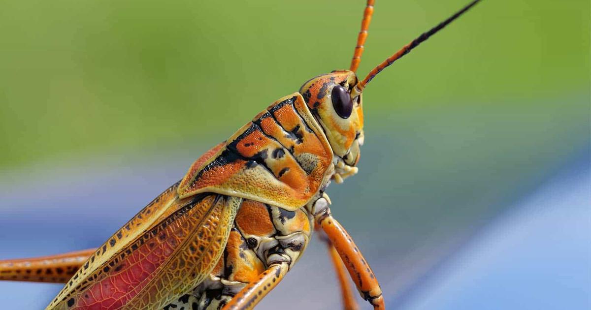 arthropod morphology  parts of a grasshopper