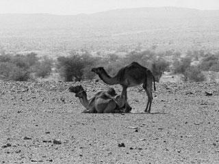 Camels in the Mauritanian desert. Photo by Craig Chesek, © American Museum of Natural History.