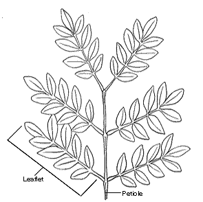 Plant morphology types of compound leaves ccuart Gallery