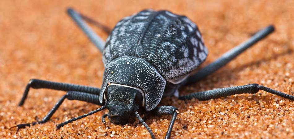 Namib Desert beetle  on sand