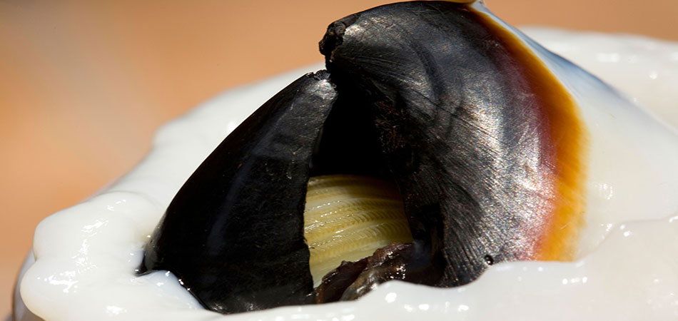 Jumbo squid beak