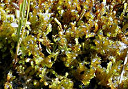 Modern-day Scorpidium scorpioides grows along lake shores in the Andes Mountains. © Michael Luth
