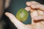 The shagbark hickory nut is safe to eat. Like most nuts, it is nutritious and a good substitute for meat.
