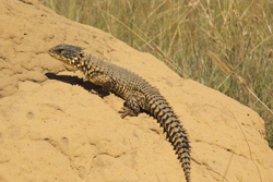 Smaug gigantus is a newly-reclassified giant girdled lizard from South Africa. Photo courtesy of E. Stanley