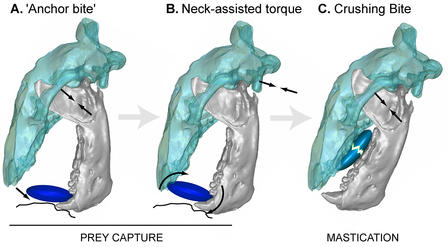 Mammalian jaw function. Text reads: Prey Capture: A. Anchor Bite, B. Neck-assisted torque. Text Reads: Mastication, C. Crushing Bite.