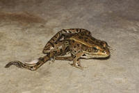 Northern Leopard Frog (Rana pipiens), Deformed © Allen Blake Sheldon/Animals Animals
