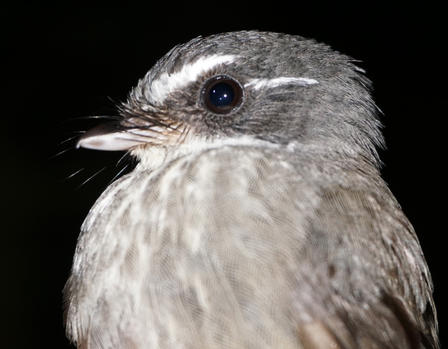 This tiny fantail has a unique dawn song that we have captured for the first time. © AMNH/C. Filardi