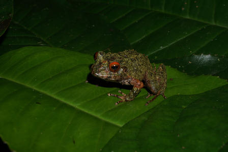 This frog was discovered by its odd barking calls in the night, and may be an undescribed species. © AMNH/C. Filardi