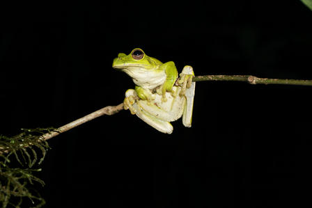 Recordings made of this tree frog are the first ever. © AMNH/C. Filardi