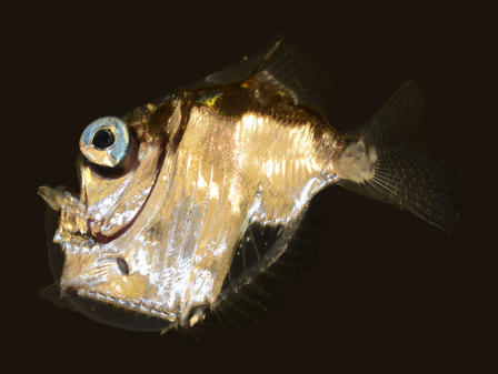 Hatchetfish Image