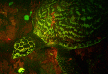 A wild hawksbill sea turtle exhibiting biofluorescence, observed for the first time by a Museum researcher. © AMNH/D. Gruber