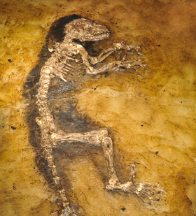 Skeleton, Messel, Germany, Eocene  Cast of Natural History Museum, University of Oslo, Norway© AMNH/D. Finnin