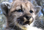 P6, a female, is one of four cougar cubs born in the Santa Monica Mountains last August.Courtesy of National Park Service