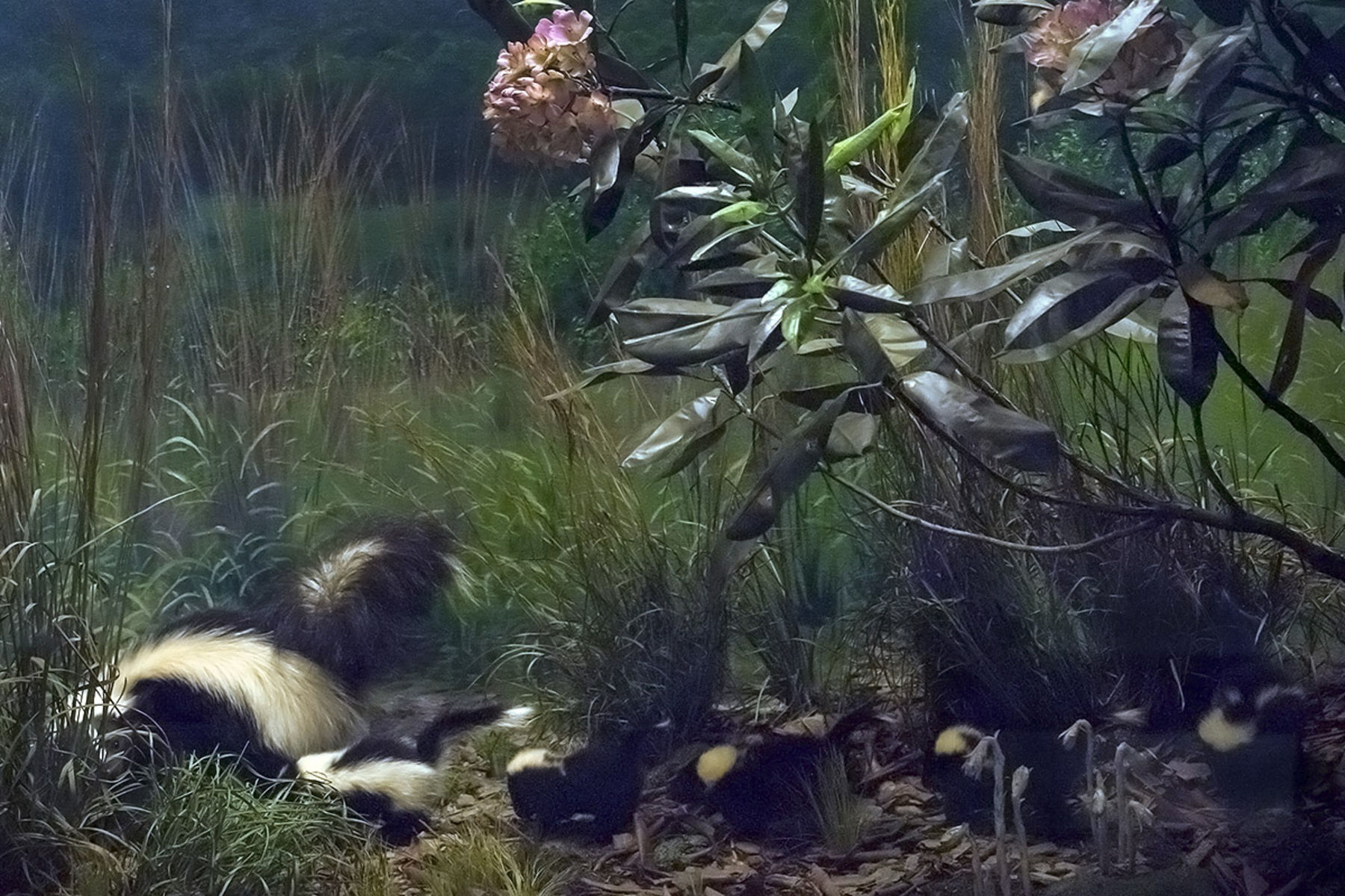 A Museum diorama displays a model of a mother skunk and a row of baby skunks following behind.