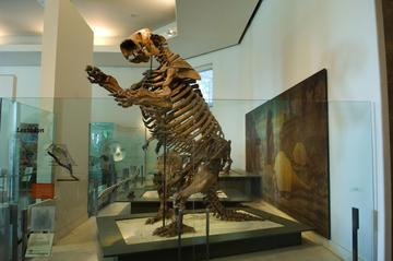 Fossil skeleton of Lestodon armatus, a large mammal, on display in the Museum's fossil halls.