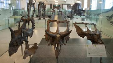 Relatives of the Triceratops