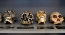 Sackler Ed Lab Skulls
