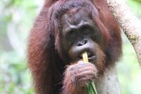 close up of orangutans face eating a plant