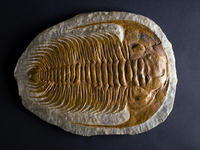 fossil of trilobite paradoxides gracilis