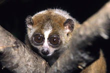Close up of a Slow Loris on a branch, species name Nycticebus pygmaeus