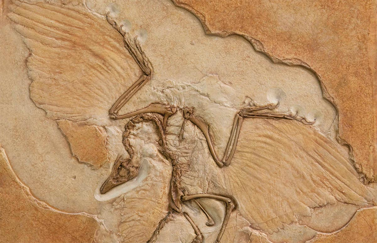 A fossilized specimen of the dinosaur Archaeopteryx, showing evidence of feathers