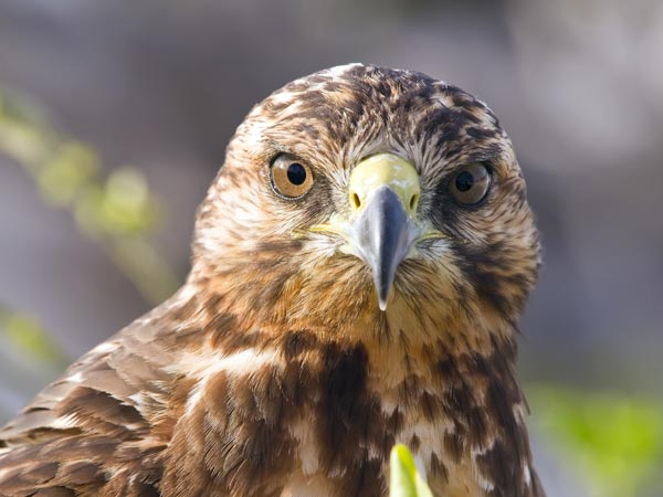 closeup of a hawk