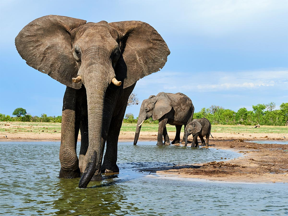 two adult elephants and one baby elephant wading in water