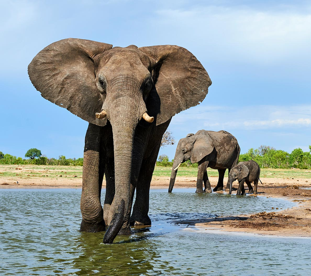 photo of three elephants wading in water