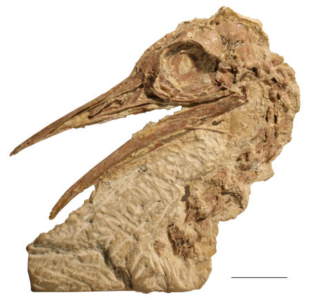 Lithornithid skull fossil with an open beak