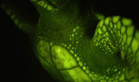 Biofluorescence was also observed in a loggerhead turtle at Mystic Aquarium in Mystic, CT. © AMNH/D. Gruber