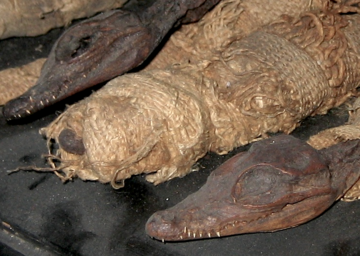 Researchers collected tissue samples from mummified crocodiles in the Egyptian temples at Thebes and the Grottes de Samoun. Credit: John Thorbjarnarson, Wildlife Conservation Society