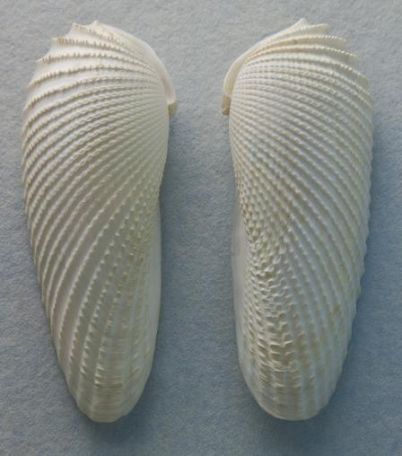 Angel Wing Shell