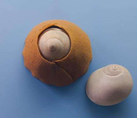 Atlantic Moon Snail