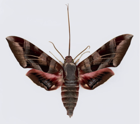 A giant hawk moth adult with its tongue extended  Alfred University artist Joseph Scheer