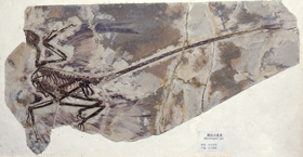 This photograph of a Microraptor gui fossil, taken by Mick Ellison, appears in Brusatte's Dinosaur Paleobiology.  © AMNH/M. Ellison