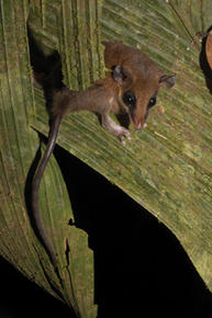 Zeledon's mouse opossum may be a pollinator for some neotropical palms. Credit: Marco Tschapka.