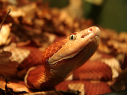 southern copperhead_250