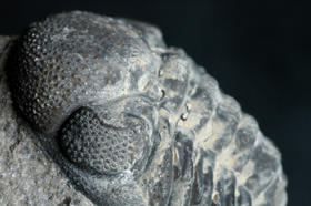A close-up of a Phacops rana milleri trilobite, showing its compound eye. Courtesy of Flickr/Striving to a goal.