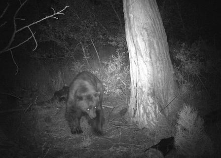 Bear Night Vision Camera Trap