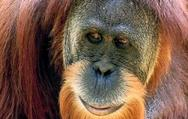 Orangutan Genome Finished
