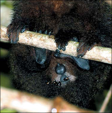Fig. 2. Genital region of a brown titi monkey from the family group infested with C. guadriguttatus beetles. Job Aben