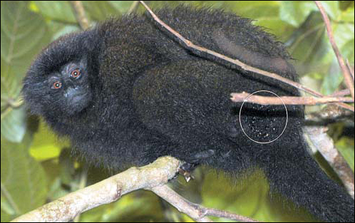 Fig. 1. Brown titi monkey from the infested family group with many C. guadriguttatus attached to the fur above the tail. Job Aben
