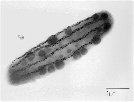 A magnetotactic bacterium showing rows of magnetic crystals. Richard B. Frankel