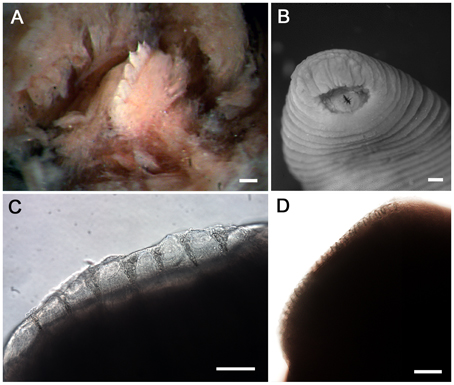 A) Stereomicrograph of the single dorsal jaw of T. rex with large teeth. Scale bar is 100 µm. (B) Tyrannobdella rex anterior sucker exhibiting velar mouth and longitudinal slit through which the dorsal jaw protrudes when feeding. Scale bar is 1 mm. (C) Compound micrograph in lateral view of eight large teeth of T. rex. Scale bar is 100 µm. (D) Lateral view of jaw of Limnatis paluda illustrating typical size of hirudinoid teeth. Scale bar is 100 µm. Anna J. Phillips, Alejandro Oceguera-Figueroa, and Mark E. Siddall