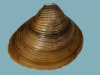 Corbicula fulmineaasiatic clam