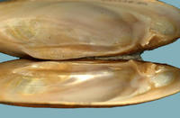 A freshwater mussel with strongly developed lateral and pseudocardinal teeth.